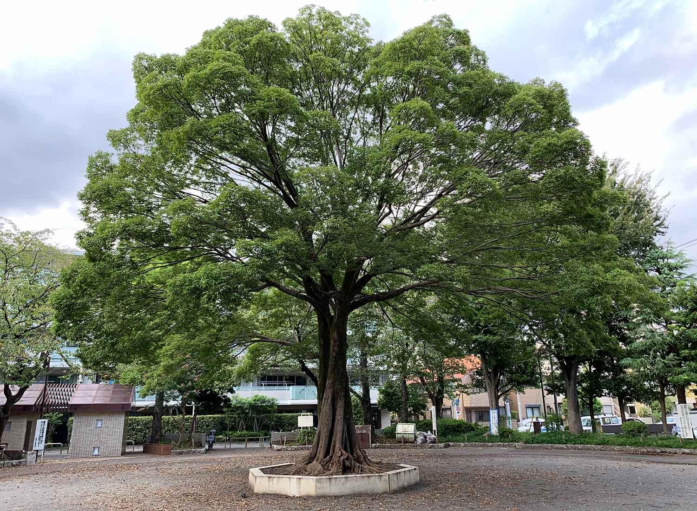 上り屋敷公園 ムクノキ