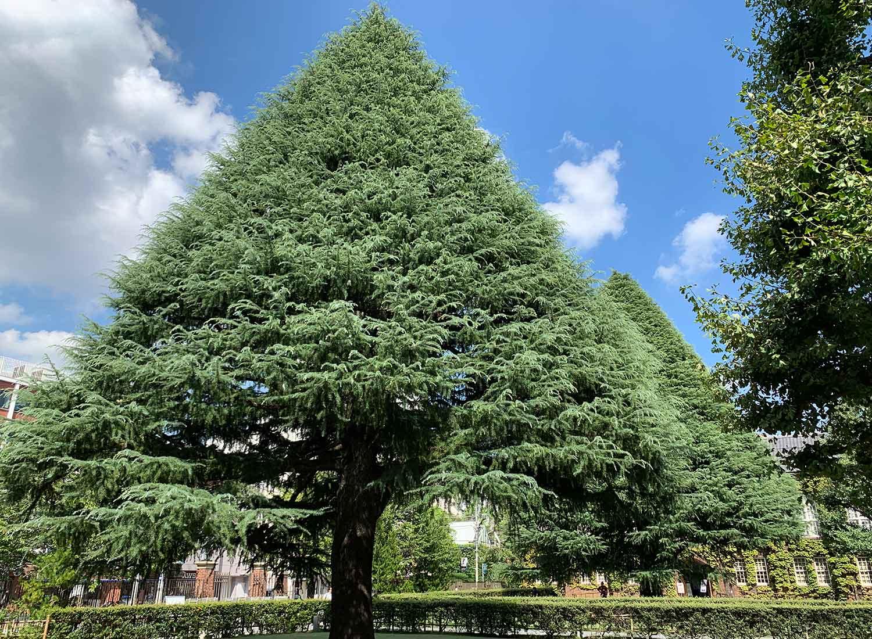 立教大学 もみの木