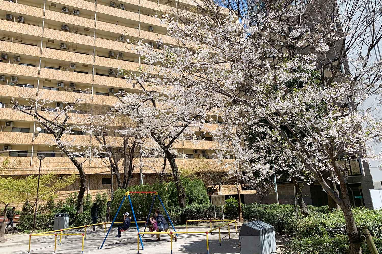 日出町公園の桜