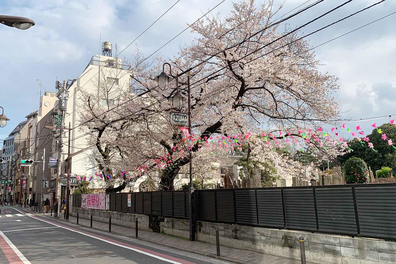 東通りの桜