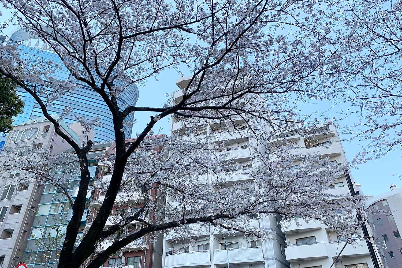 東池袋中央公園の桜