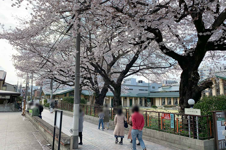 自由学園の桜