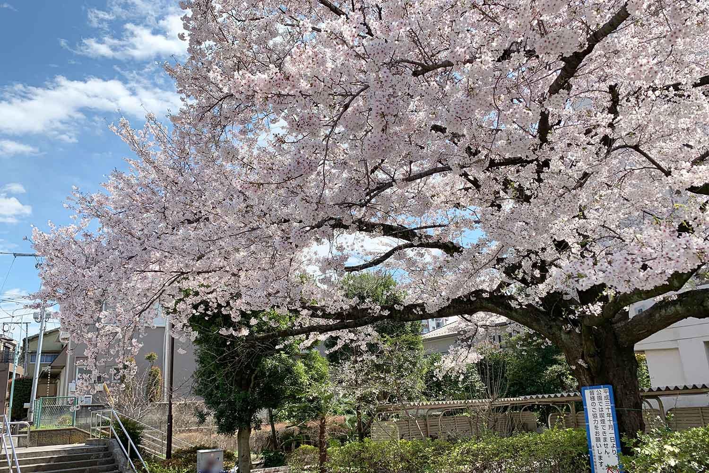 池袋で桜を花見!上池袋公園はすごく綺麗に咲いている!
