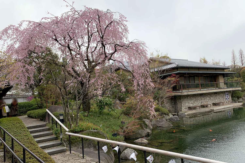 有名な桜スポット『目白庭園』の綺麗な枝垂れ桜にうっとり