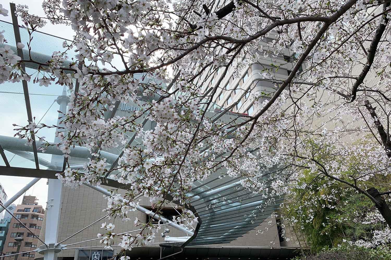 池袋で桜の花見。メトロポリタン前